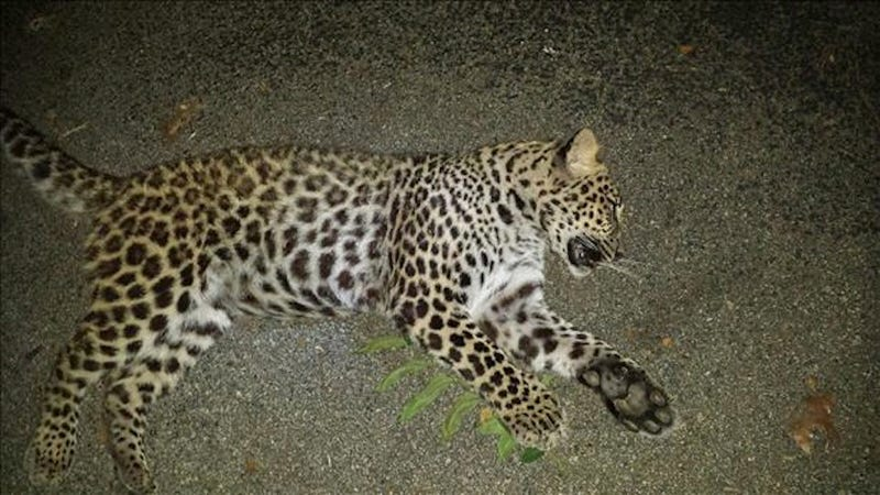 Indiana Woman Shoots and Kills Leopard Prowling in Her Backyard