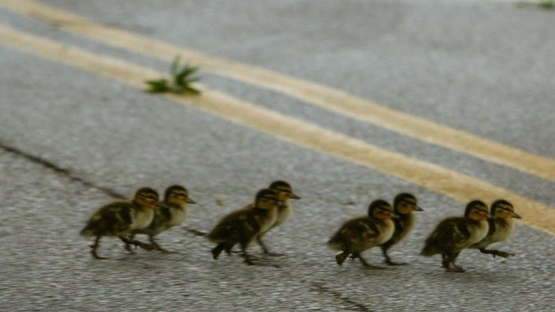 ​Canadian Woman Stops to Save Baby Ducks, Causes Fatal Car Crash