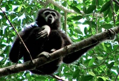 Gibbons on helium use the same vocal techniques as opera singers