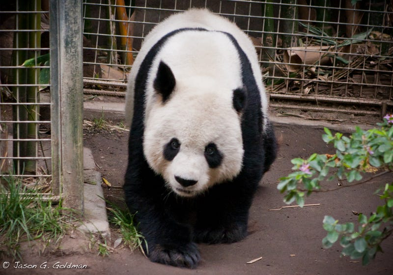 Giant Panda Was Infected With Scary Cat Parasite Toxoplasma