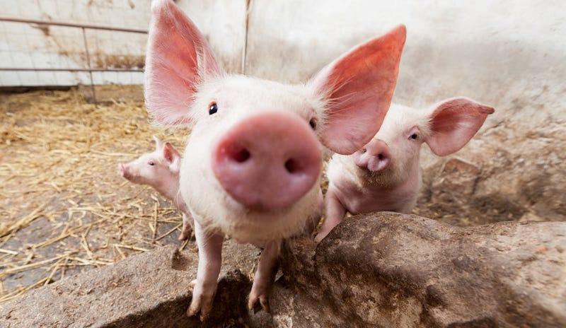 Mafia Don Eaten Alive By Pigs In Revenge Murder