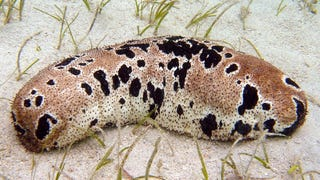Why You Should Care That Sea Cucumbers Are Going Extinct