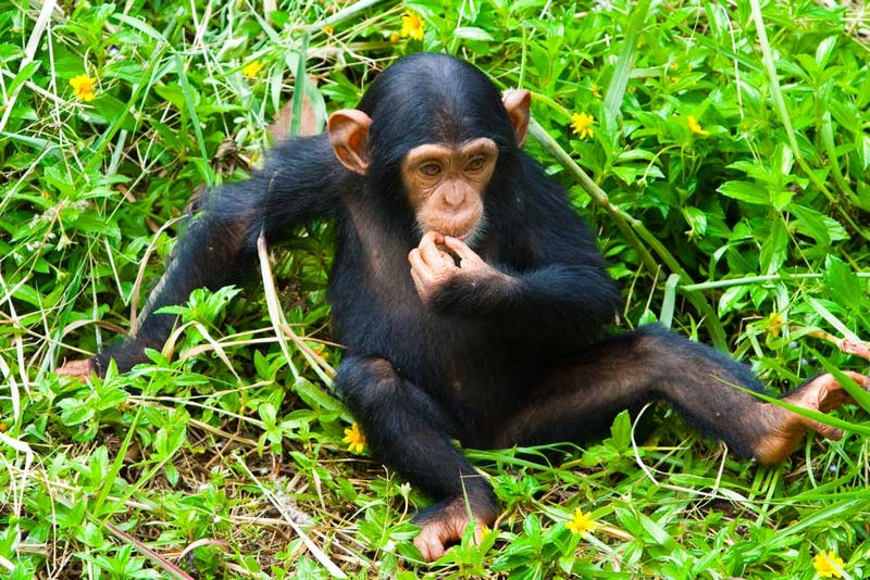 "Female Chimps More Likely To Play With ""Dolls"""