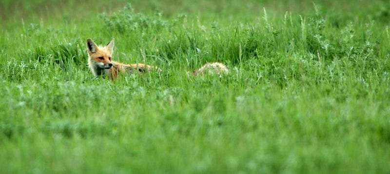 Brave Hunters Demand Right to Watch Dogs Kill Imprisoned Foxes