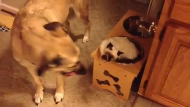 Why Is This Cat Living In This Dog's Water Bowl and Why Is This Dog So Chill About It? Life's Mysteries Continue Apace