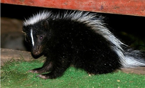 New York's Third Plague: Skunks