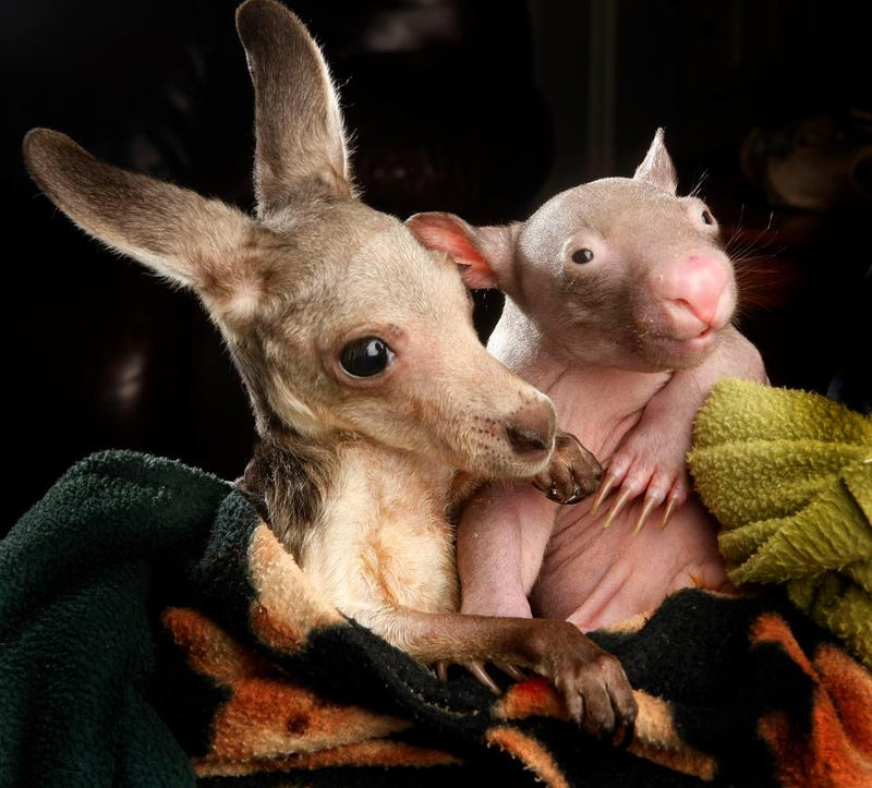 This image of an orphaned kangaroo cuddling with an orphaned wombat will melt your heart