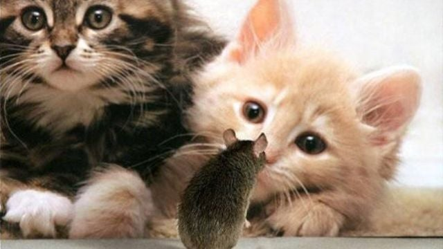 Parasites trick their rat hosts into being eaten by cats