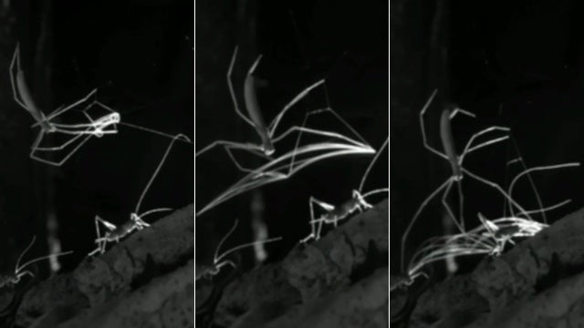 Nightmare fuel: Watch a spider use a portable net to capture its prey