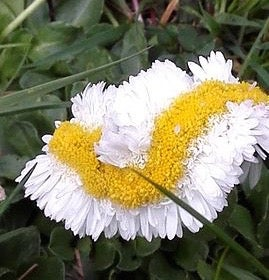 Stop Freaking Out: Fukushima Isn't Mutating the Daisies