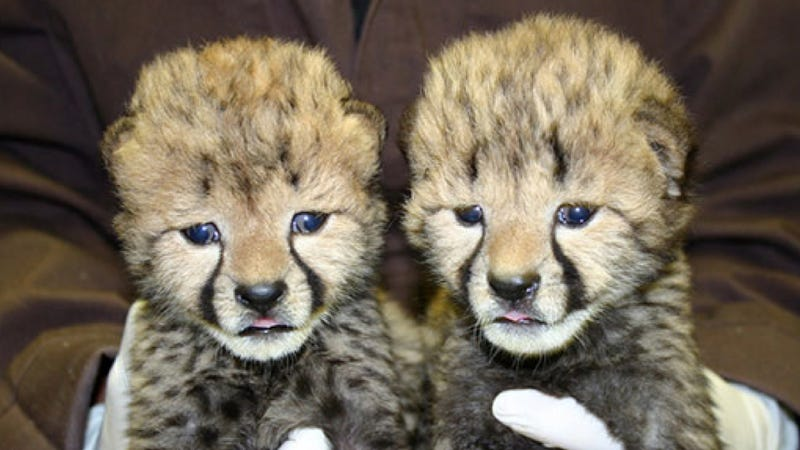 16-week-old cheetah cubs will turn your stone-cold heart to mush