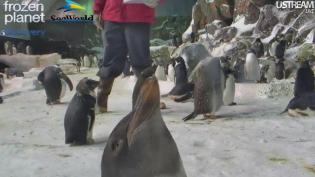 It's impossible to be anything but happy while watching the live Penguin Cam