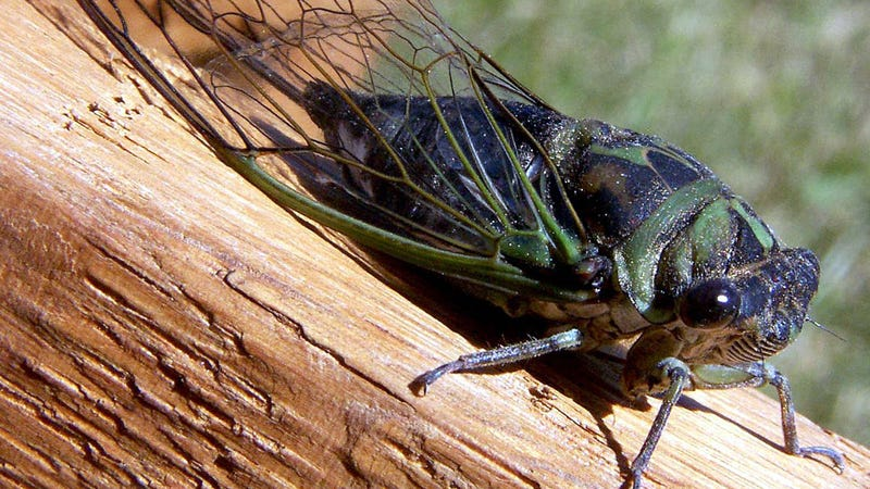 Cicada Nation: All About Those Noisy Little Bastard Bugs