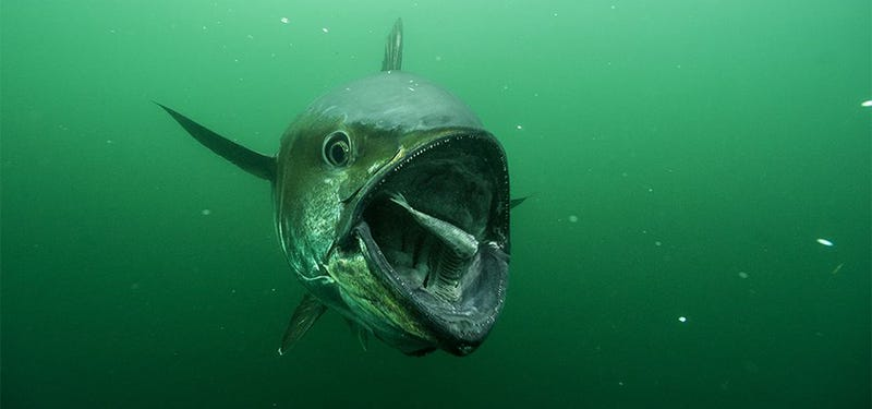 Terrifying photo of a tuna about to eat its prey