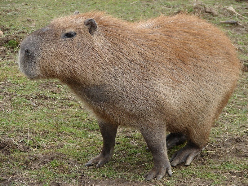Wouldn't it be cool to own a capybara?