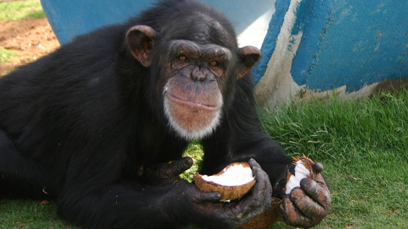 NIH Offers Most of Its Medical-Experiment Chimps Early Retirement