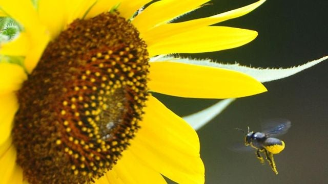How we've used bees to poison people — and get high