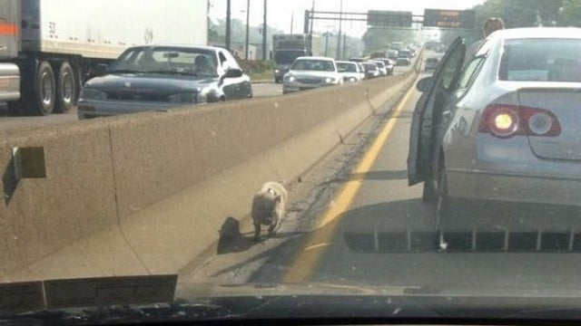 How Did a Scarf-Wearing Pig End Up on a Highway Outside Pittsburgh?