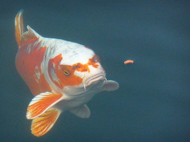 How food can change the color of birds fish and even humans for Can you eat koi fish