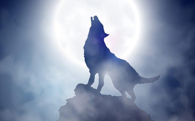 Por qué los lobos no aúllan a la Luna y otros mitos de estos animales