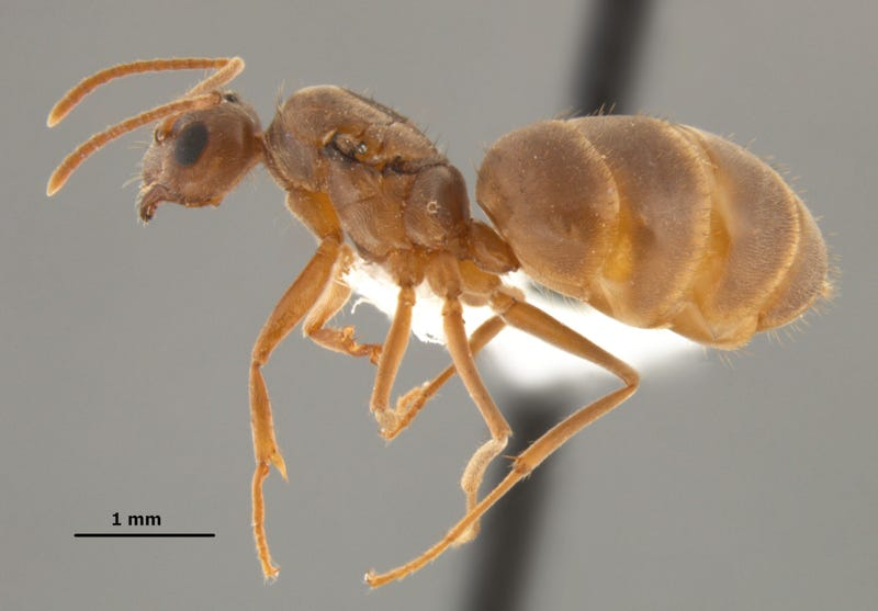 Invasive 'crazy ants' are nastier and far tougher than we imagined