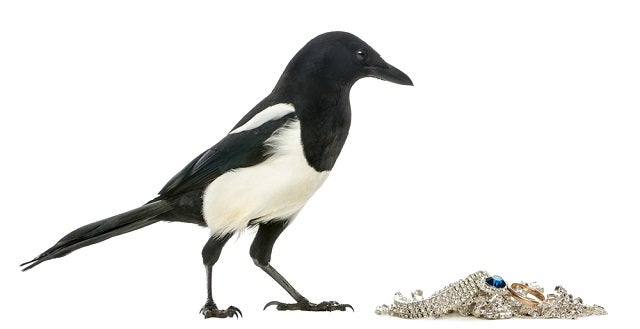 "The Whole ""Magpies Like Shiny Objects"" Thing Is Vicious Bird Slander"