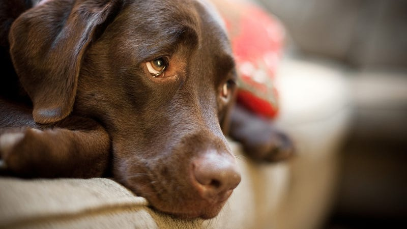 Another Feather in the Cap for Dog People: Humans May Just Naturally Understand Dogs' Emotions
