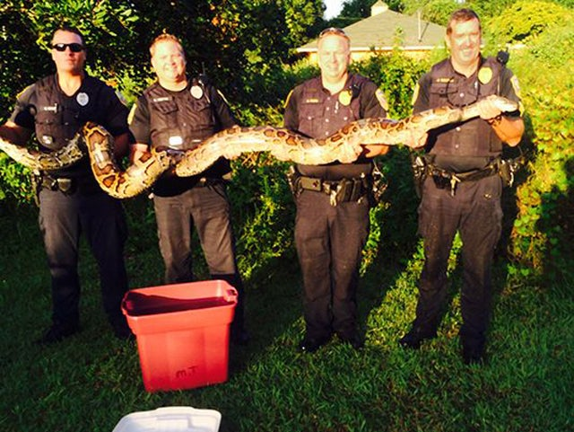 Cat-Eating 12-Foot Python Caught by Florida Police