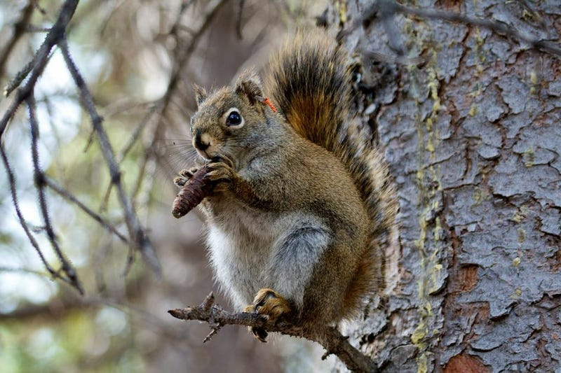 What makes red squirrels the greatest warriors in Squeaktown