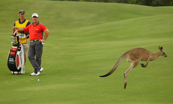When Your Ball Lands In A Kangaroo's Pouch, Forget It, That Ball Is Gone