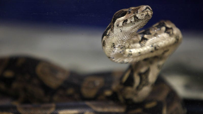 UK Woman Finds Boa Constrictor After Buying Used Volkswagen