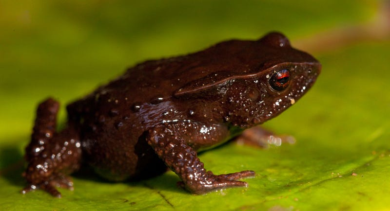 "Three ultra-tiny, mysterious ""lost frogs"" discovered"