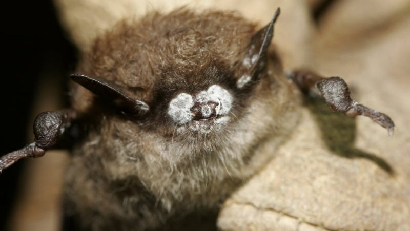 Holy Endangered Species, Batman! Little Brown Bats Nearly Extinct in Just Six Years