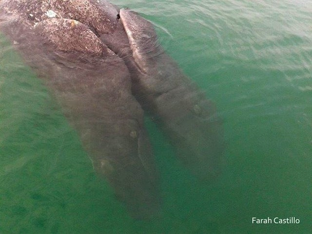 Conjoined Gray Whales Discovered in Baja California Lagoon