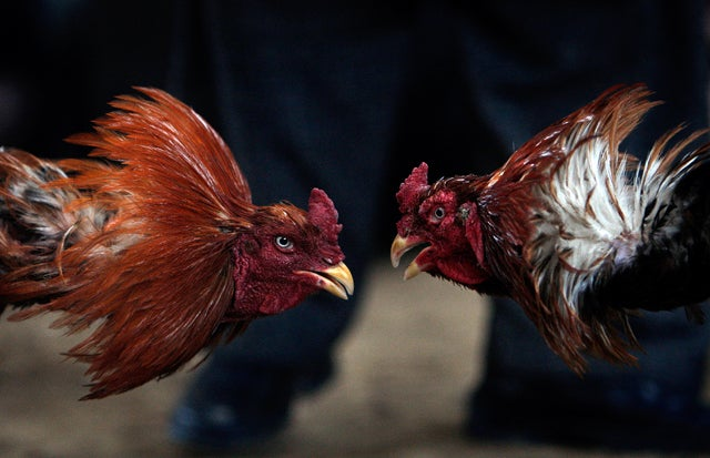 Kid's Party Provides Cover for Cockfighting Operation