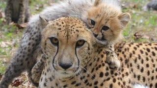 Cheetah Doubles as Mom/Jungle Gym