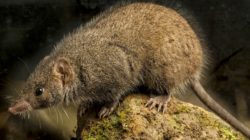 Biologists Discover New Species of Hornay Sexaholic Marsupial