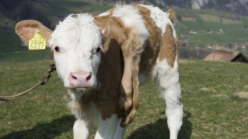 Lilli the calf is probably the most adorable six-legged creature you've ever seen