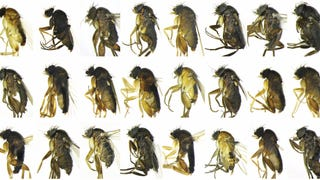 30 Previously-Unknown Species of Fly Di