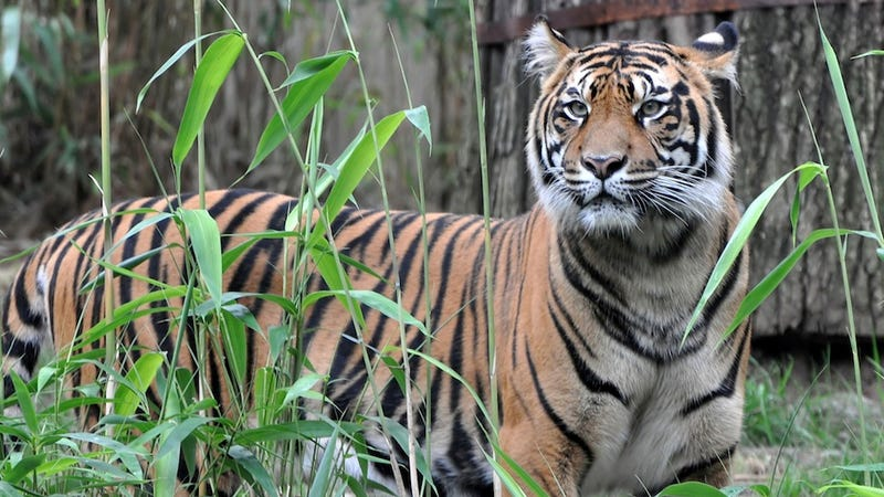Tigers Maul Man to Death, Trap 5 Others in Tree for at Least 4 Days