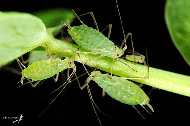 Aphids may be the only insects that can photosynthesize