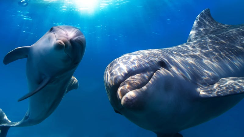 Wild dolphins will greet one another by exchanging names