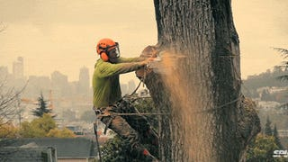 Video: Chopping down a giant tree in an urban area is like an opera