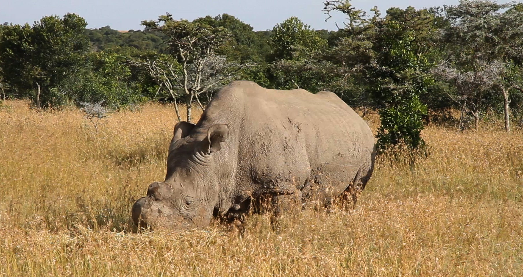 Scientists Have an Insane Plan to Stop These Rhinos From Going Extinct