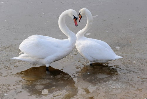 When Swans Get Divorced