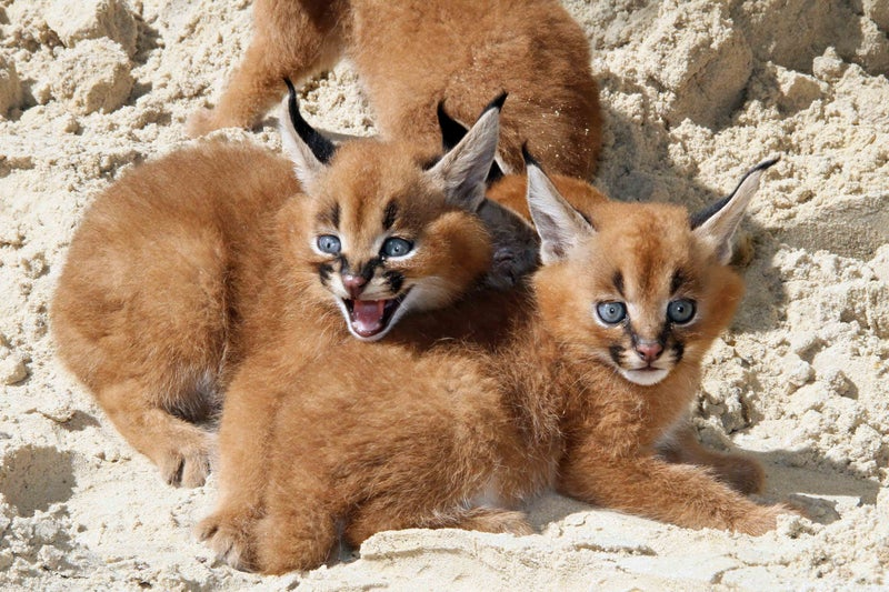 ZOMG BABY CARACALS AND BABY LEOPARD!!!