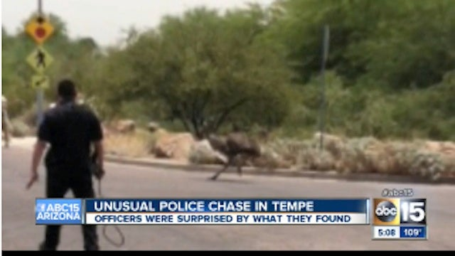 Emu Escapes Arizona Man's Home, Dies After Police Chase