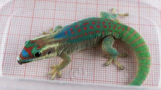 Russia's Entire Team of Sexual Cosmonaut Geckos Is Dead