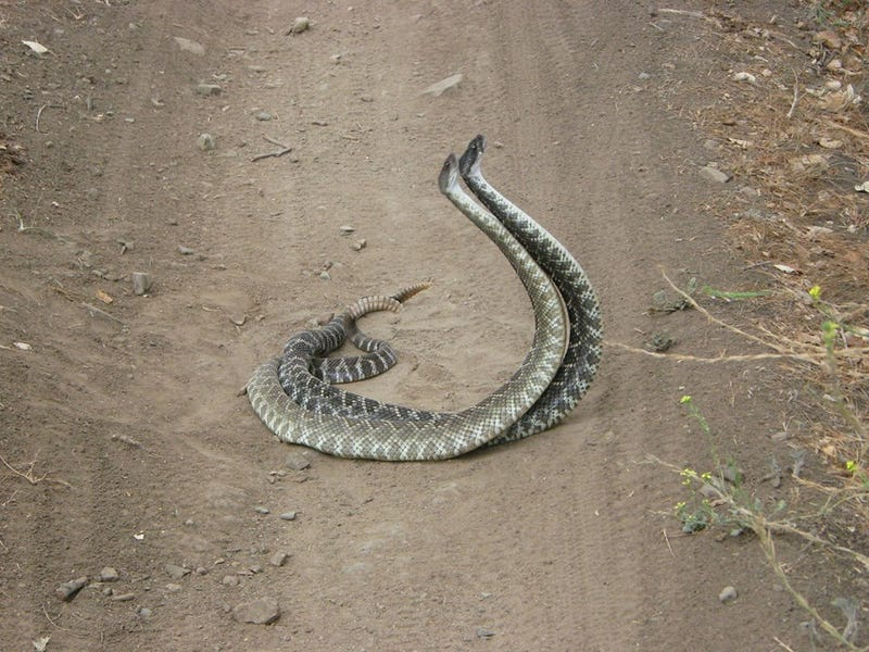 "This Is What The Rattlesnake ""Combat Dance"" Looks Like"