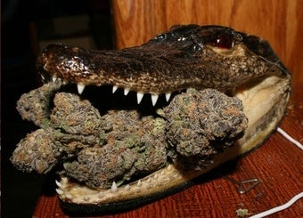 Weed Kills Crocs; America Wins